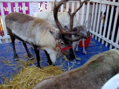 Reindeer in Canterbury